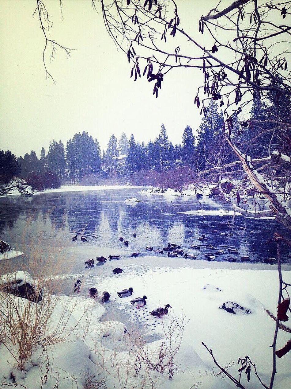 Ducks Deschutesriver  Inbend Oregon