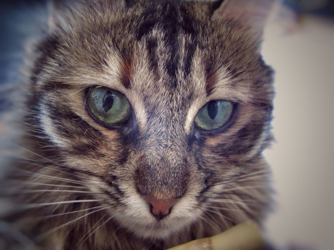 Boo Looking At Camera Portrait Feline Close-up No People One Animal WildCreature Wilderness Intothewild Photooftheday Mycat Photography Photo Beauty Inlove Nature Animal Love Eyes Eyes Are Soul Reflection MyGIRL Photo Shoot