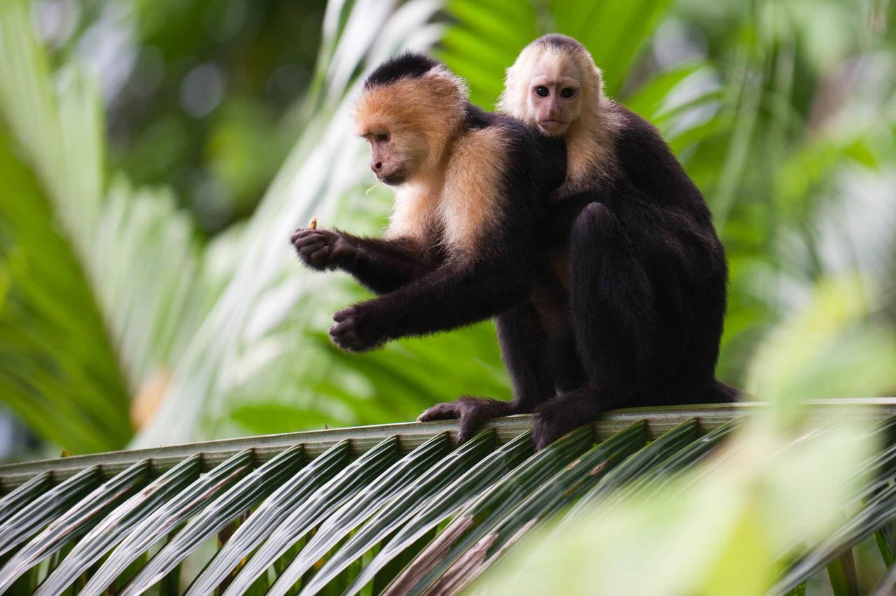 Beautiful stock photos of monkey, Animal, Baby, Environment, Exotic