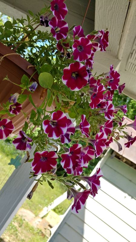 Flower Growth Plant Day Outdoors High Angle View Nature Beauty In Nature No People Building Exterior Fragility Close-up Freshness Petunias Hanging Petunias In Full Bloom