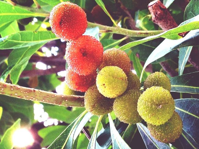 Fruit EyeEm Nature Lover Myrica Rubra Bayberry