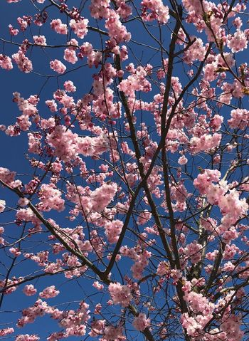 Cherryflowers. Flower Beauty In Nature Blossom Branch Springtime Growth Nature Cherry Tree Cherry Blossom