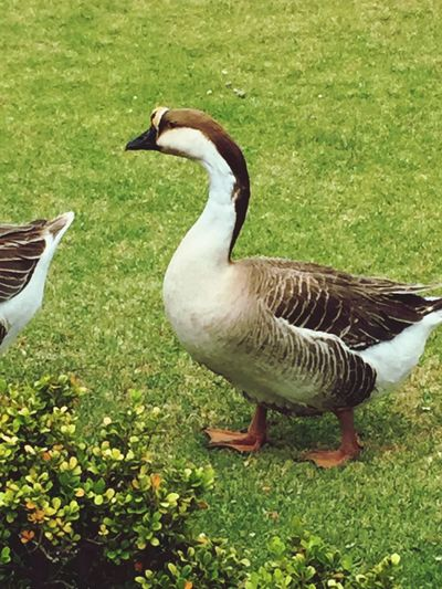 Ganso Bird Animal Themes Animals In The Wild Grass Nature Duck Day Field Animal Wildlife Goose Outdoors No People Growth Beauty In Nature