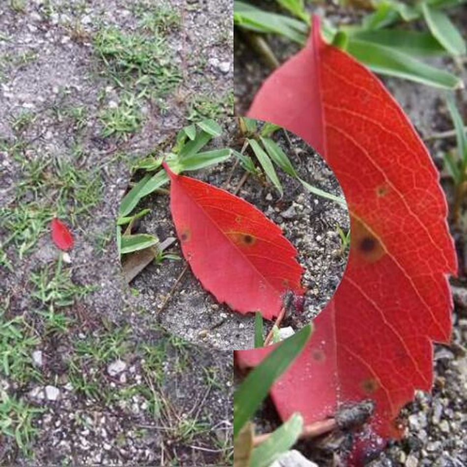 The Random RED Leaf.. blown in after a Thunderstorm First Eyeem Photo Red Nature's Diversities - 2016 EyeEm Awards Leaf Me Alone The Great Outdoors - 2016 EyeEm Awards Nature My Year My View Cut And Paste