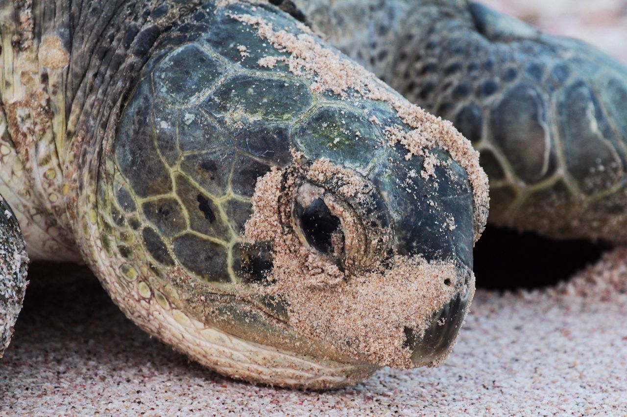 One Animal Reptile Animal Themes Close-up Animals In The Wild Animal Wildlife Nature No People Sea Life Animal Skin Outdoors Turtle Day Tortoise Sea Turtle Giant Tortoise Giant Wildlife Beautiful Nature Portrait Animals Beach Sand in Ras Al Jinz , Oman