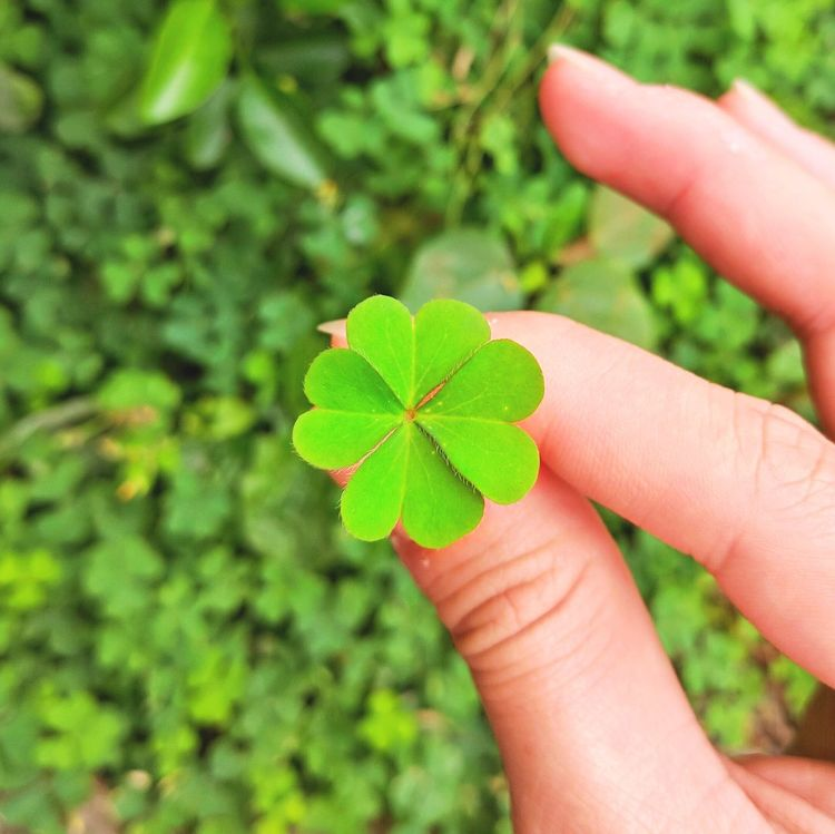 Lucky. Leaf Green Color Plant Growth Nature Close-up Fragility Sapling Four Leaf Clovers 🍀 Four Leaf Clover Four Leaf Outdoors Beauty In Nature Plant
