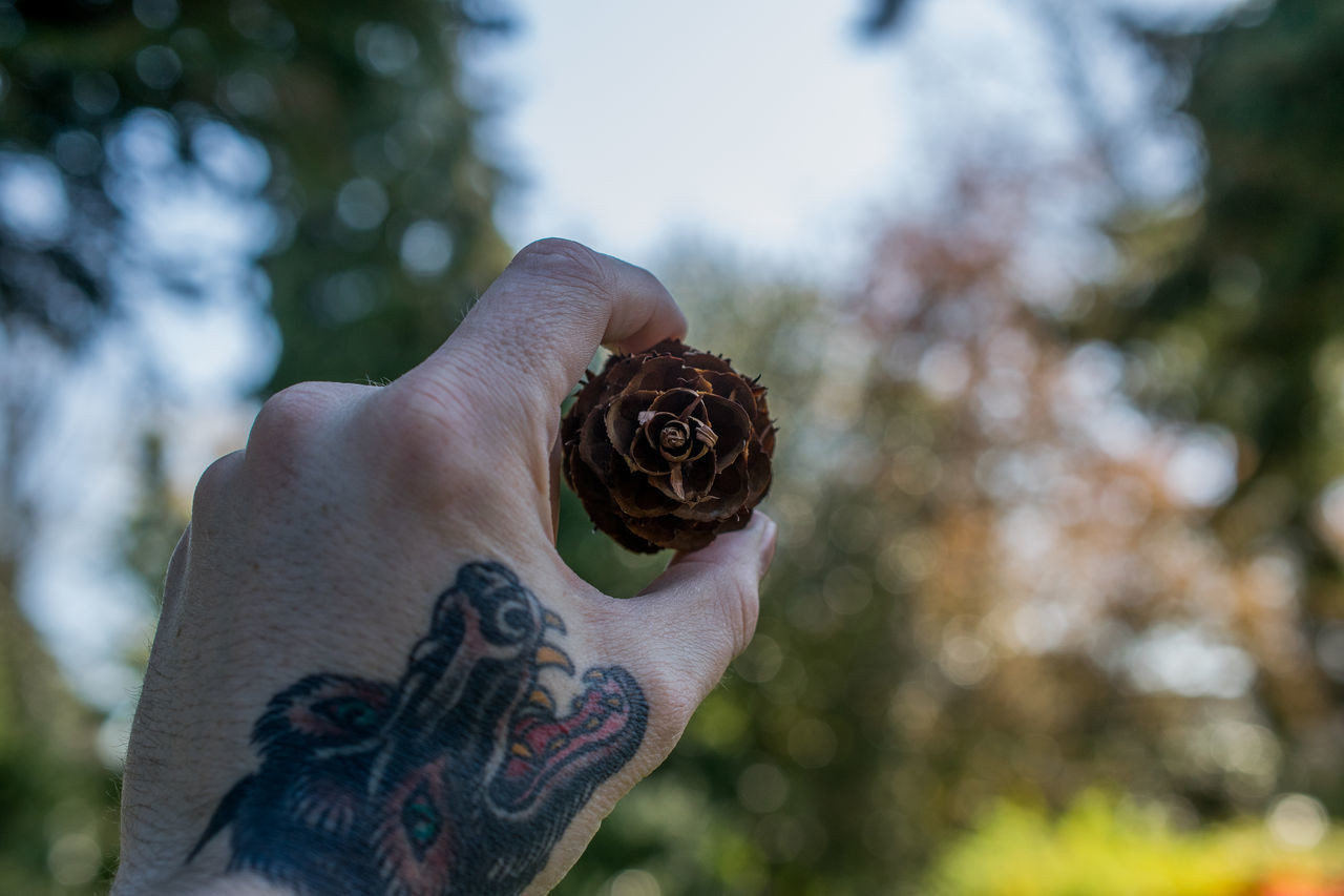 Cropped Image Of Man Holding Pine Cone