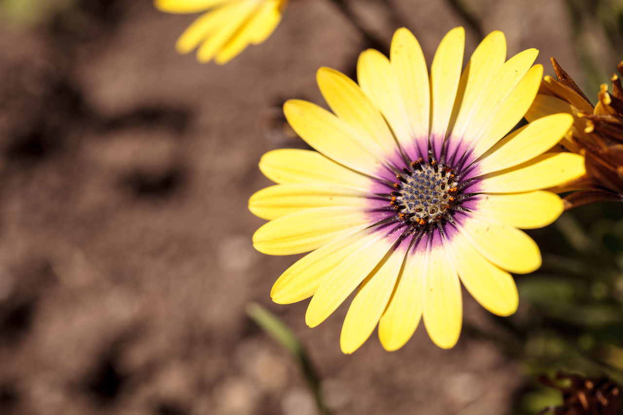 Yellow petals on a blue-eyed beauty daisy from the Osteospermum genus blooms in a spring garden. Blue-eyed Beauty Blue-eyed Beauty Daisy Beauty In Nature Close-up Daisy Day Flower Flower Head Fragility Freshness Garden Nature No People Osteospermum Outdoors Petal Plant Wildflower Yellow Yellow Daisy Yellow Flower