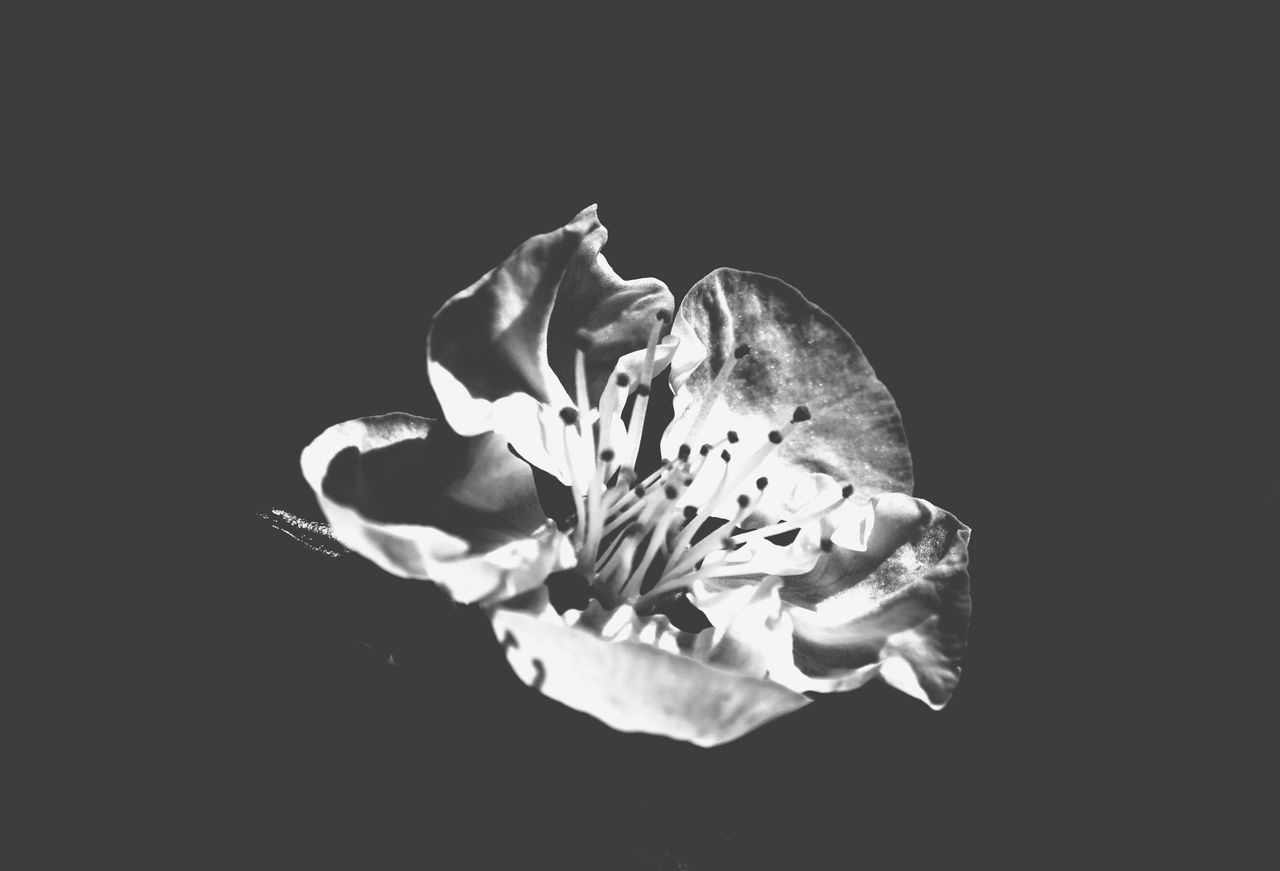 Flower Petal Flower Head Fragility Close-up Studio Shot Black Background Beauty In Nature Nature No People Plant Outdoors Bnw Bnw_captures Bnwphotography EyeEmNewHere Wallpaper Photography