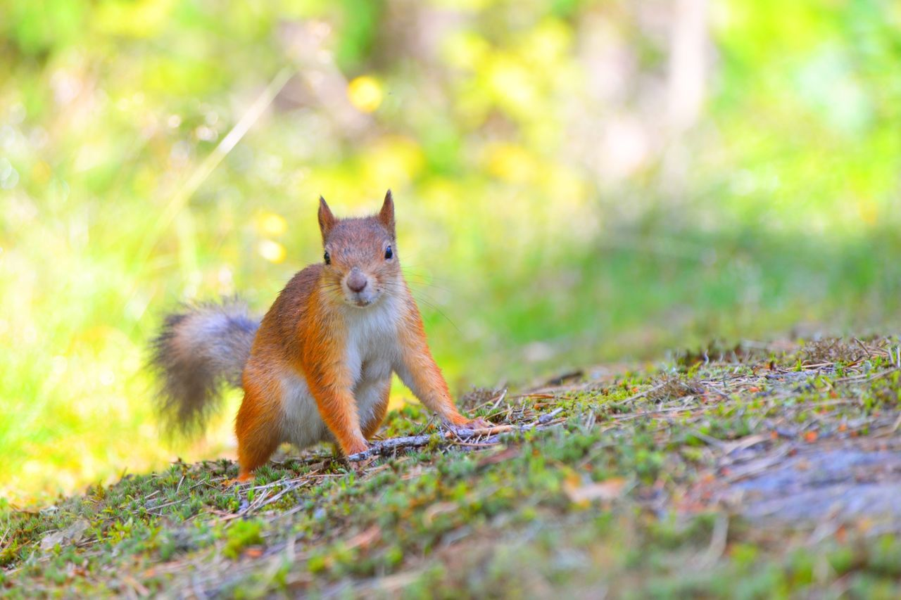 Alert small squirrel on ground Adorable Animal Animal Themes Animal Wildlife Animals In The Wild Cute Day Finland Furry Grass Helsinki Lovely Lovelynatureshots Mammal Nature No People Nut One Animal Outdoors Seurasaari Small Squirrel Squirrel Squirrel Closeup Squirrel Photo