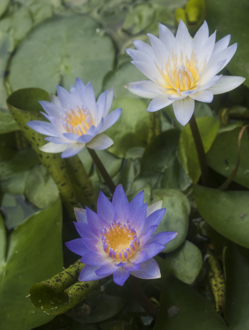 Close-Up Of Purple Water Lilies Blooming Outdoors