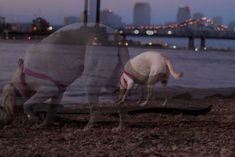 Messing around with Double Exposure! ChronoCapturePhotography Double Exposure Dogs Dogs On Beach New Orleans Animal Golden Hour Ocean Cityscapes Architecture Landscape