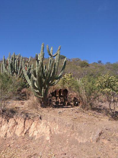 Cactus Desert Plant Nature Arid Climate Day No People Sky Outdoors Cow Villa Corona