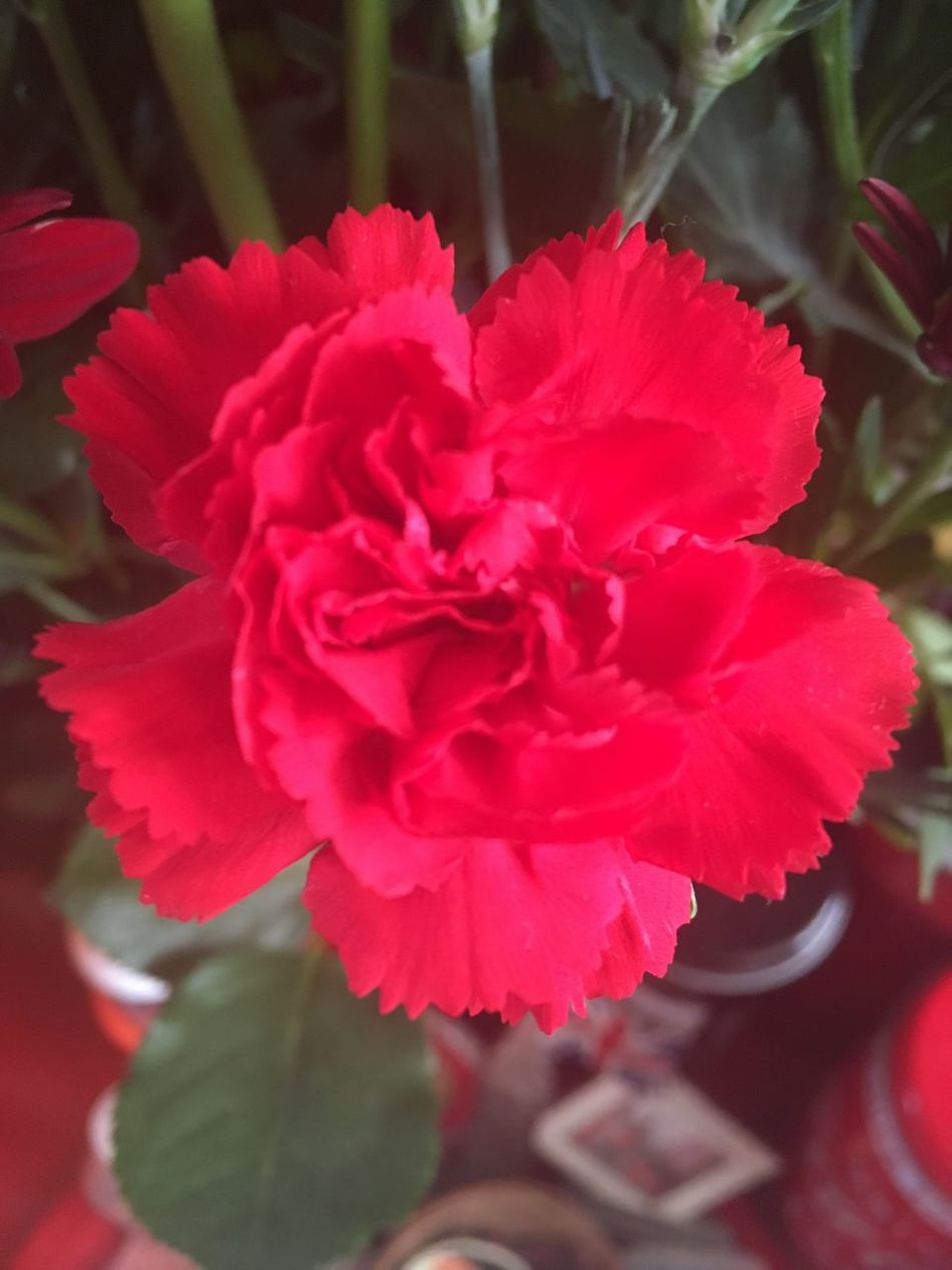 Flower Beauty In Nature Petal Nature Fragility Growth Close-up Plant Flower Head Red Freshness Pink Color Blooming Photography Maximum Closeness Focus Object No People Flowers Outdoors Day