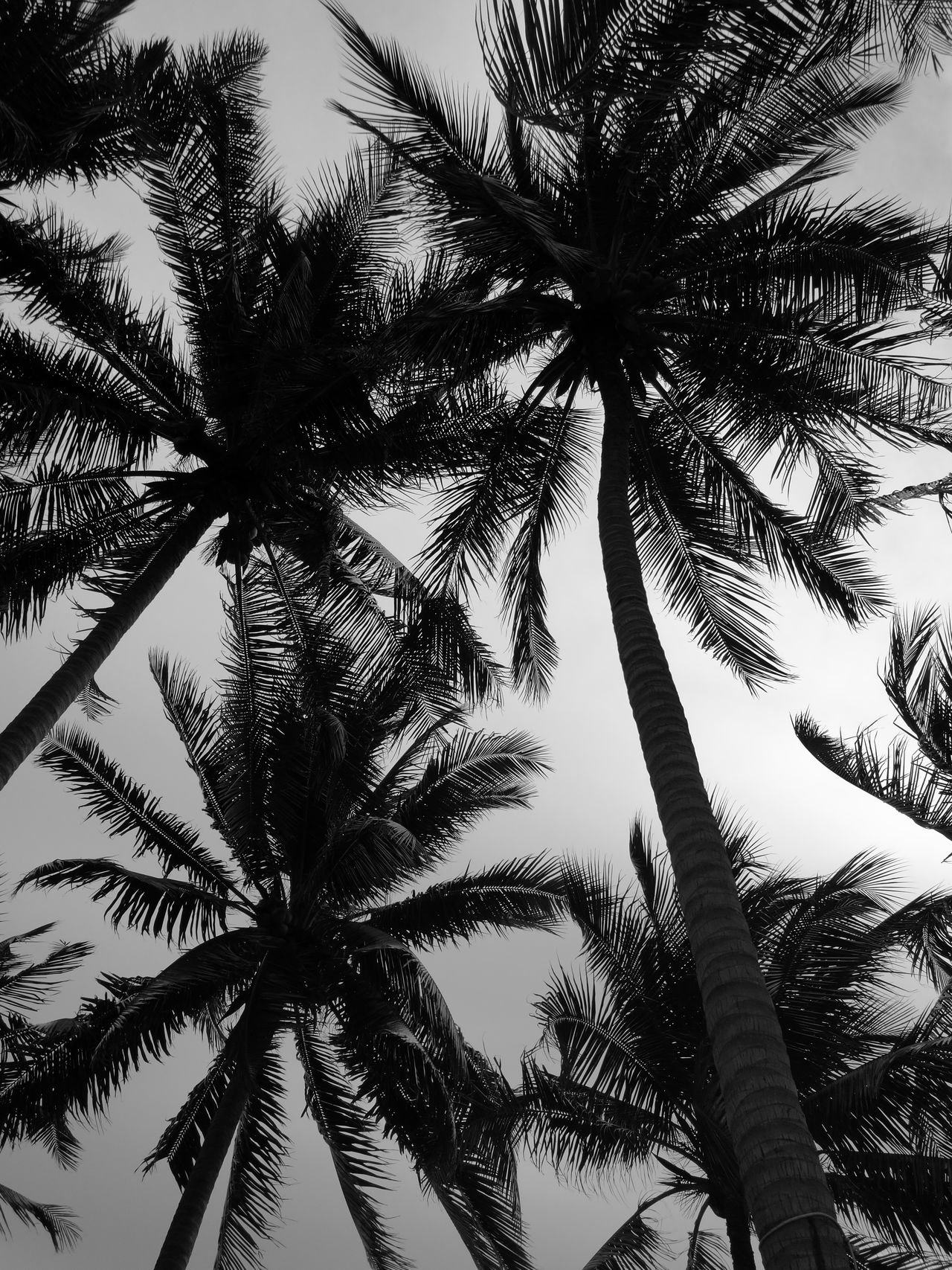 Mobilephotography Monochrome Myhuaweip9 Low Angle View Palm Tree Tree Trunk Growth Tree Scenics Tall - High Tranquility Tranquil Scene Nature Beauty In Nature Sky Clear Sky Branch Outdoors Day Directly Below Treetop Tall Non-urban Scene Coconuts Thailand