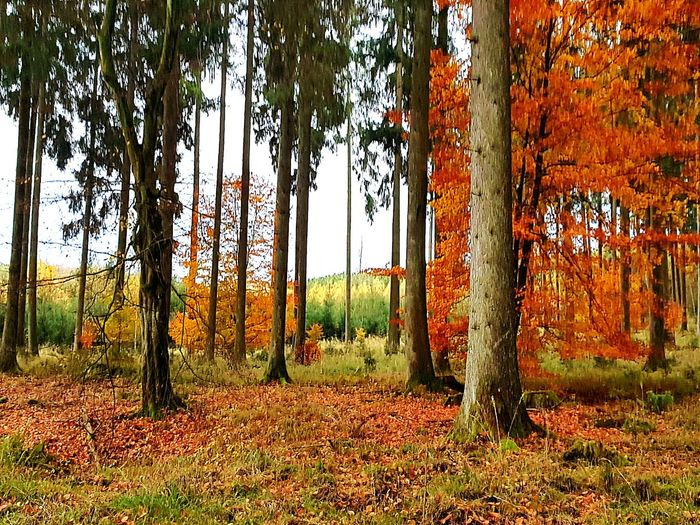 Field Day Tree No People Outdoors Nature Hello World ✌ Backgrounds Tree TreePorn Trees And Sky Forest Photography Forest Autumn Autumn Colors Autumn Collection Autumn 2017 Forestlovers Walking Around Natur Nature Photography Beauty In Nature Landscape Leaves Warmcolours