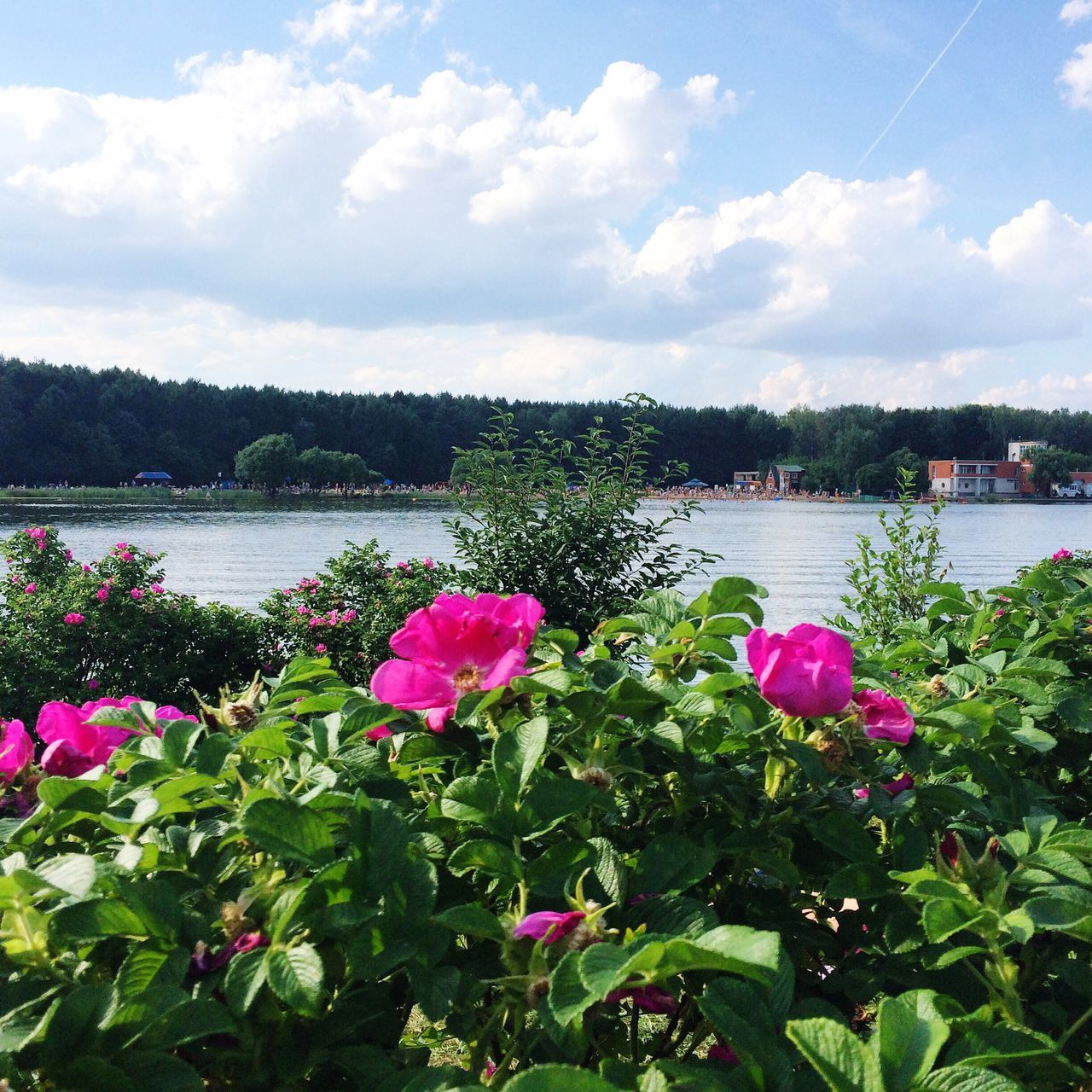 Flowers Roses Pink Roses Pound Lake Lake View Summer Russia Moscow Nature Summertime