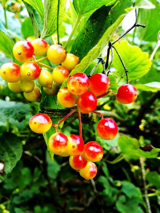 Berries Berry Nature Green Plants Macro Close-up