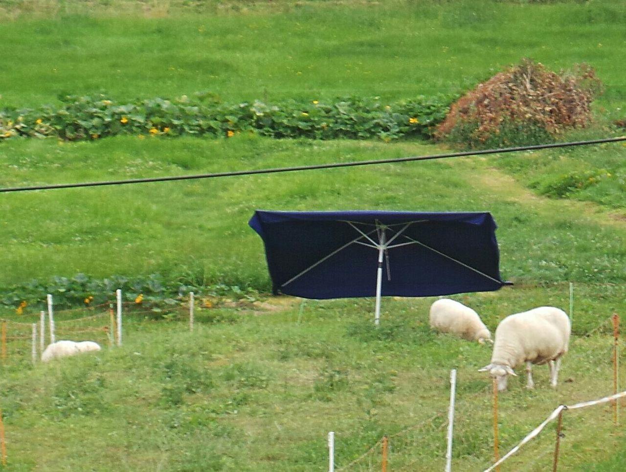 Schafe mit eigenem Sonnenschirm, Sheep with Parasol, Summertime Hochsommer Heatwave Creature Comforts