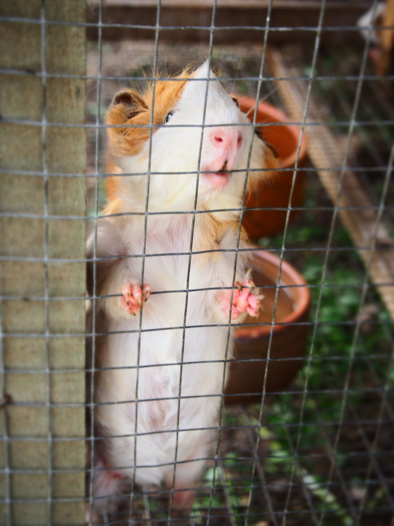 Beautiful stock photos of guinea-pigs, Animal Themes, Animals In Captivity, Cage, Close-Up