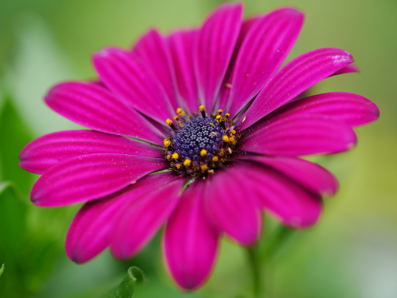 Close-Up Of Cosmos Flower Blooming Outdoors