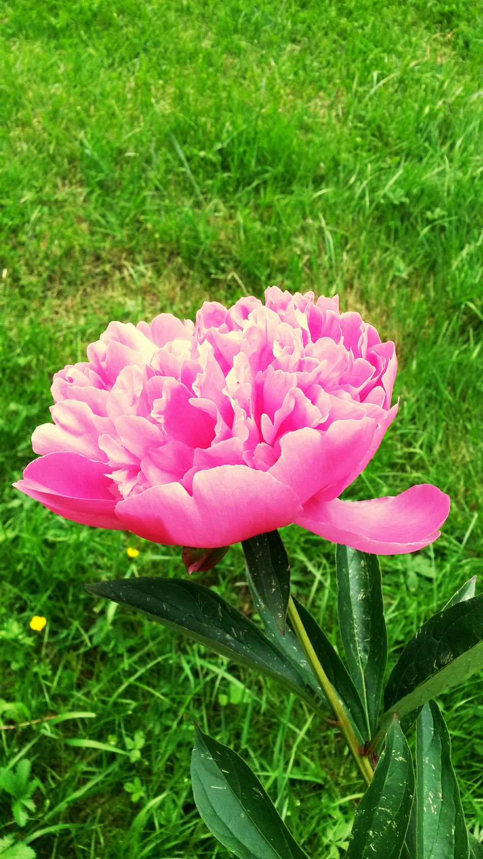 Flowers,Plants & Garden Pivoine