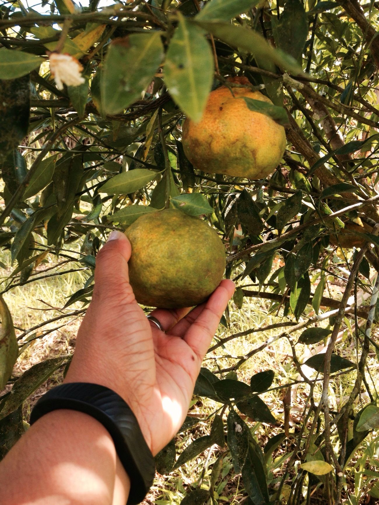 Picking Portugal's from mum's garden on February 2, 2015 in Mendez Village, Siparia, Trinidad. #LifeInAVillage #citrus