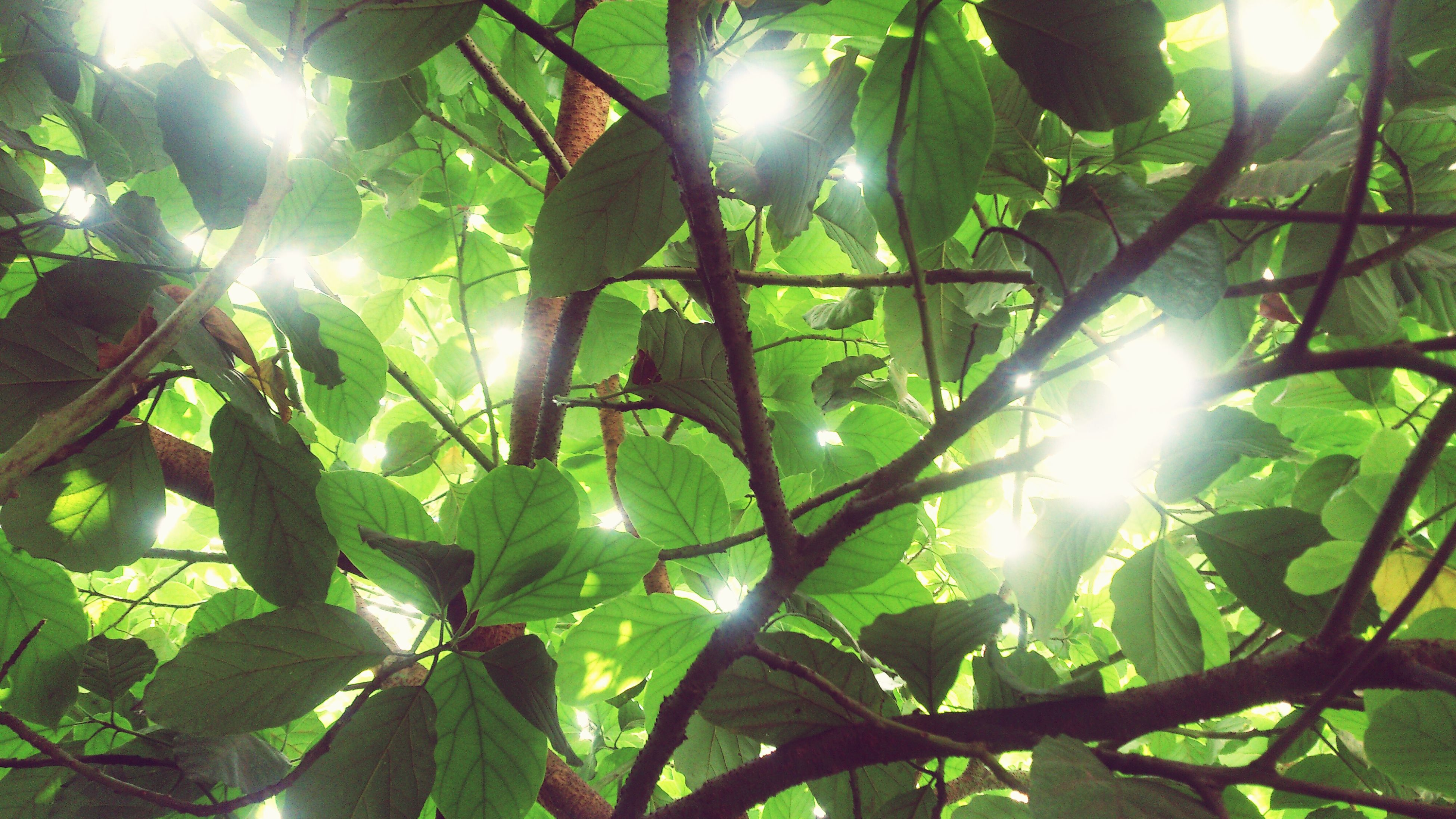 sun, sunbeam, low angle view, lens flare, sunlight, leaf, growth, tree, nature, branch, bright, green color, sunny, close-up, beauty in nature, plant, day, streaming, no people, outdoors