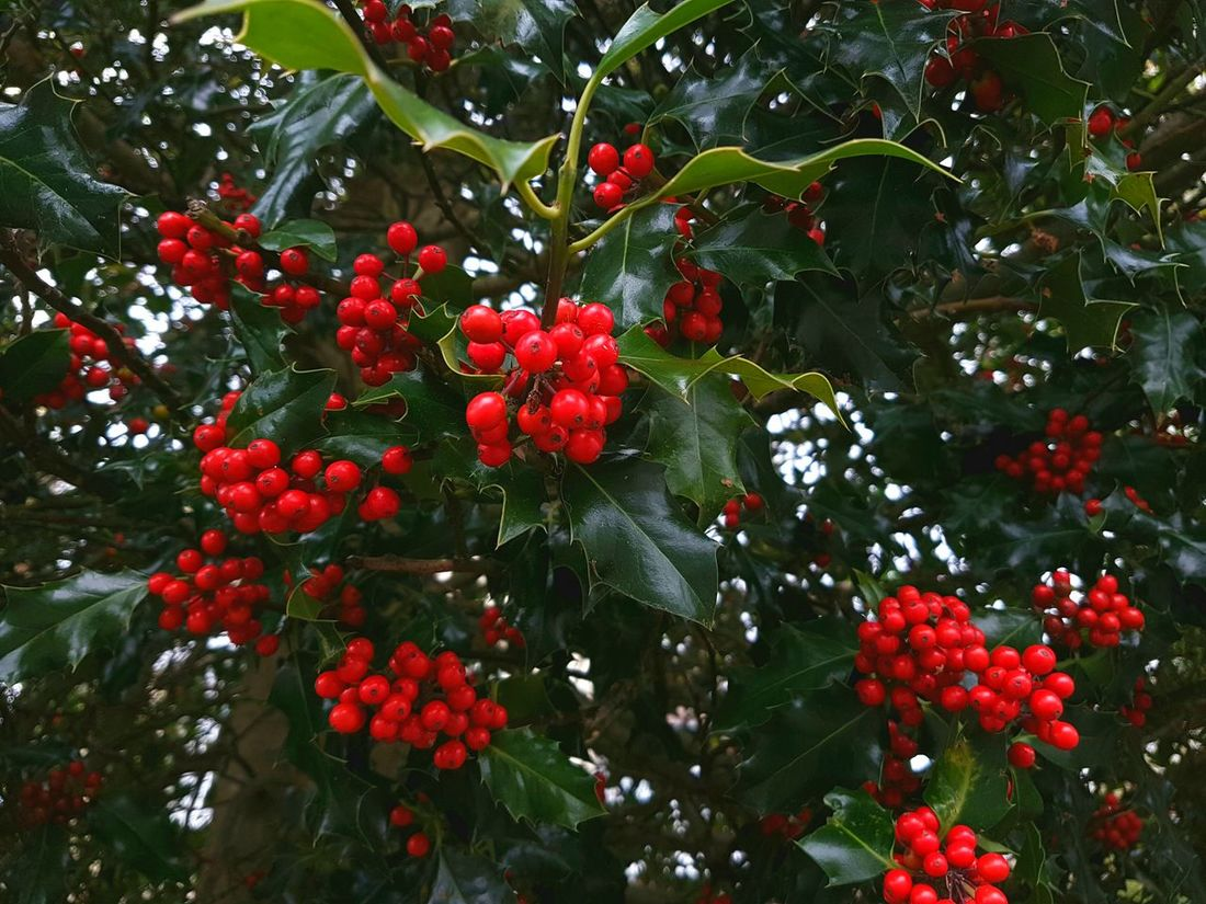 The European Holly, quintessential symbol of Christmas Solstice celebrations. Holly Ilex Aquifolium Red Berries Green Leaves Christmas Holly Wreath Christmas Decoration Berries England Poole, Dorset Uk