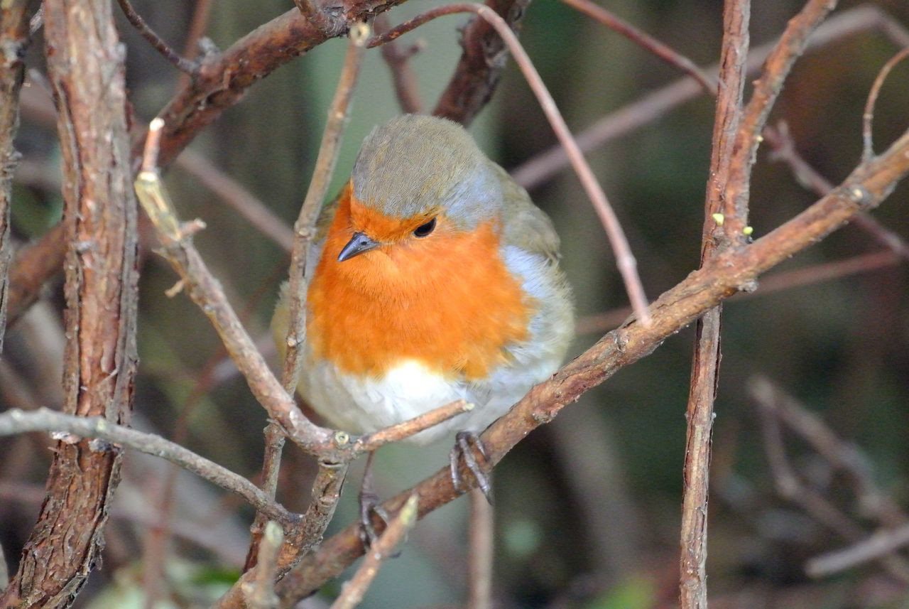 Little everyday surprises. Animal Animals In The Wild Bird Branch Day Nature Outdoors Perching Robin Winter