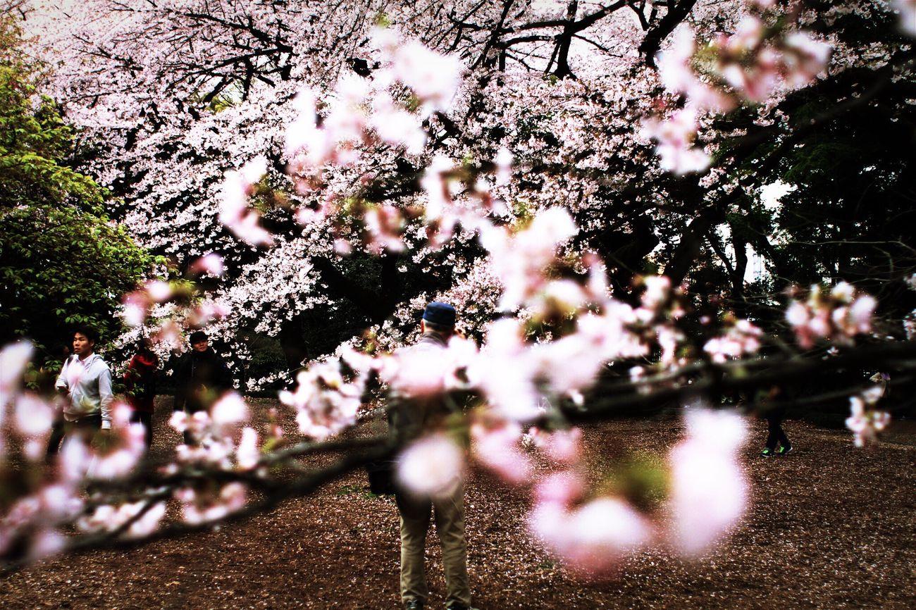 Light And Shadow Sakura Portrait Tokyo Spring