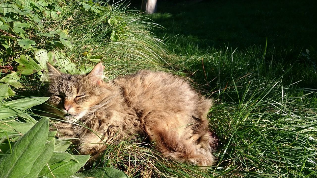 animal themes, mammal, one animal, domestic animals, pets, grass, domestic cat, feline, cat, green color, plant, growth, relaxation, grassy, field, lying down, nature, whisker, resting, front or back yard