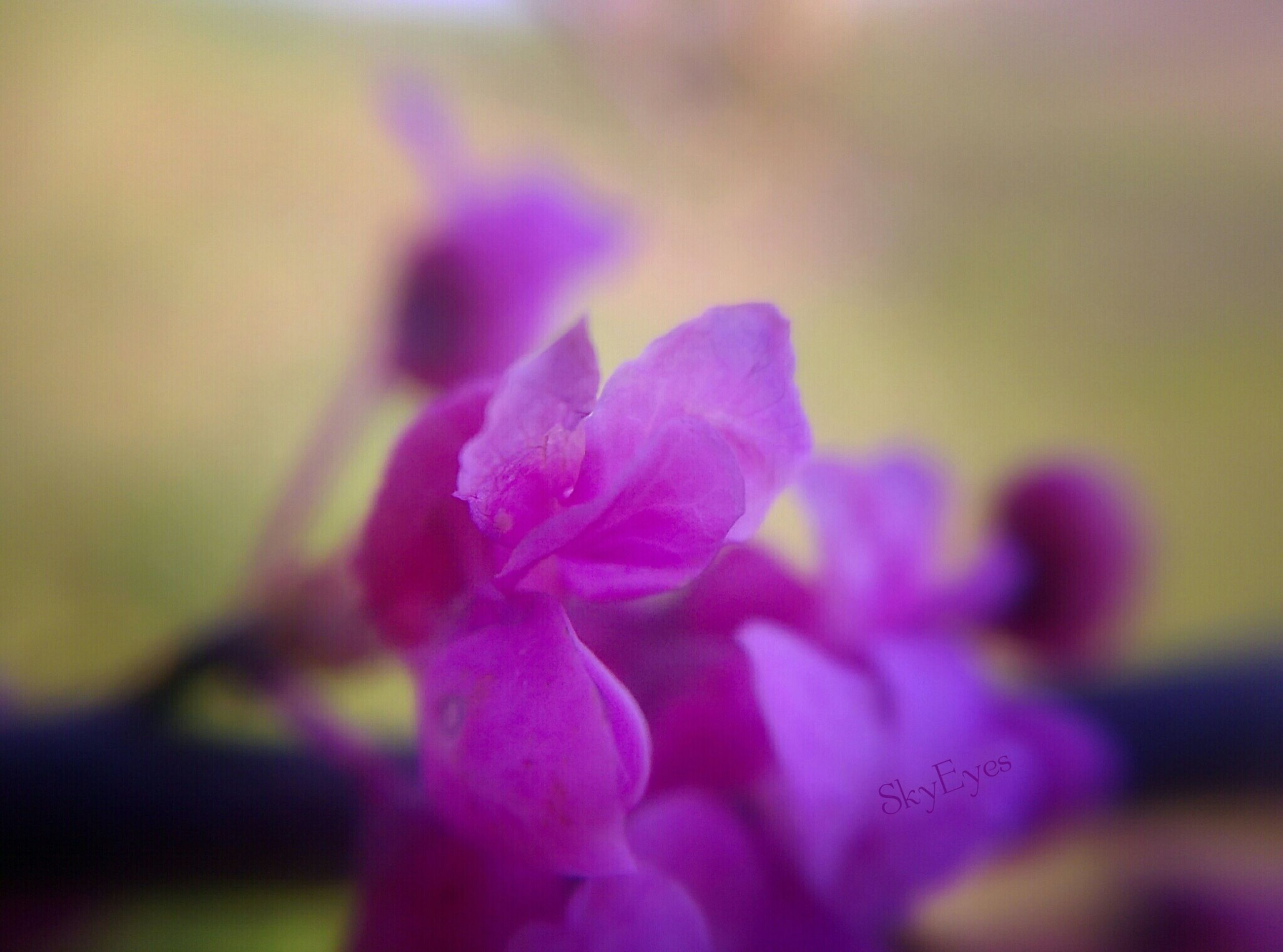 flower, focus on foreground, selective focus, close-up, petal, fragility, pink color, freshness, flower head, growth, beauty in nature, purple, nature, blooming, day, outdoors, plant, park - man made space, no people, pink