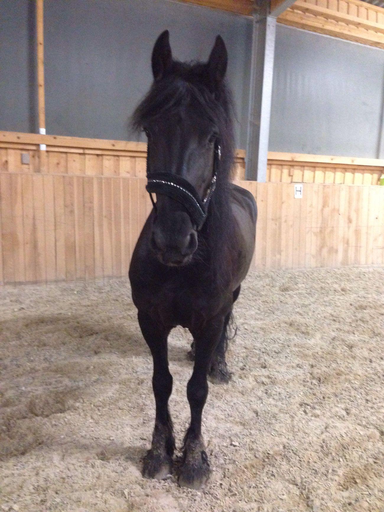 Lilli💝 Enjoying Life Horse <3 Horses IPhoneography I Love My Horse Friesen Horse I Love Horses