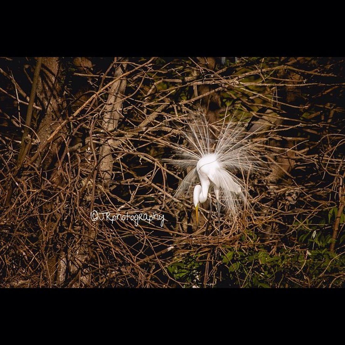 GreatEgret Rookery Shakeyourtailfeather Showingoff Birdphotography Nestingseason Natgeo