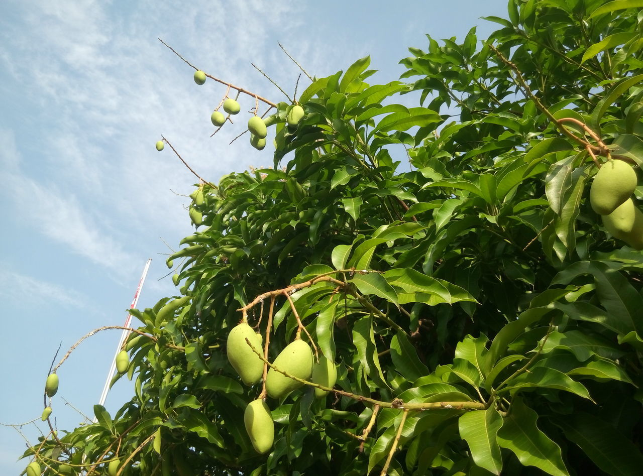Leaf Green Color Growth Tree Low Angle View No People Outdoors Day Sky Nature Manga Mango Tree