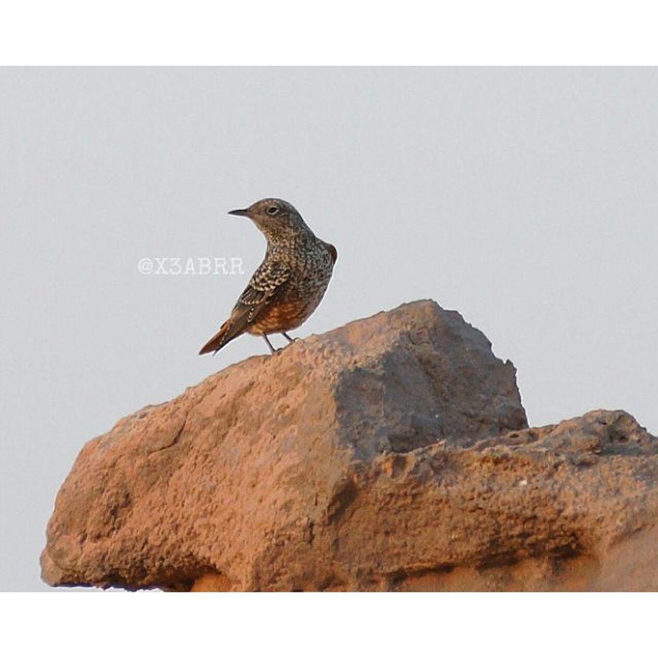 الاسم العربي : سمانة الصخور الاسم اللاتيني : Monticola Saxatilis الاسم الانجليزي : Rockthrush السيرة: زائر صيفي . تعبر خلال سواحل الخليج العربي واليمن غير شائعة البيئة: تتكاثر في مناطق صخرية غير كثيفة النباتات , وكذلك الخرائب . ارتفاع بيئتها يتراوح بين 1000-2600 متر تتواجد في أغلب المناطق وقت العبور الطول: 19 سم . سمنة صغيرة نوعا ماء , ولها ذيل قصيرومنقار بارز . يسهل التعرف على الذكر من الأجزاء العليا و الرأس ازرق رمادي مع وجود بقعة بيضاء على الظهر والذيل والأجزاء السفلية احمر معتم . تصبح نهاية كل الريش في الشتاء داكنة وبيضاء مما ينتج عنه أشكال صدفية . تشبه الإناث وطيور الشتاء الاول في حلتها شكل الذكور البالغة سن الرشد لكنها بلون بنية أكثر , فلذا تقارب شكل أنثى سمنة الصخور الزرقاء لكن يوجد على الأجزاء العليا نقط شاحبة والذيل صدئ .. .. منقول من منتديات مكشات كل الشكر ل @abch1416 . . . مساء_الخير الناس_الرايئة صور القصيم تصوير_عدستي عدسات_عربية المصورون_السعوديون مسهم_بالخير مسهم كشته السعودية عمان قطر عدستي البحرين الكويت الامارات طير bird birds 🐦 لاندسكيب تصويري