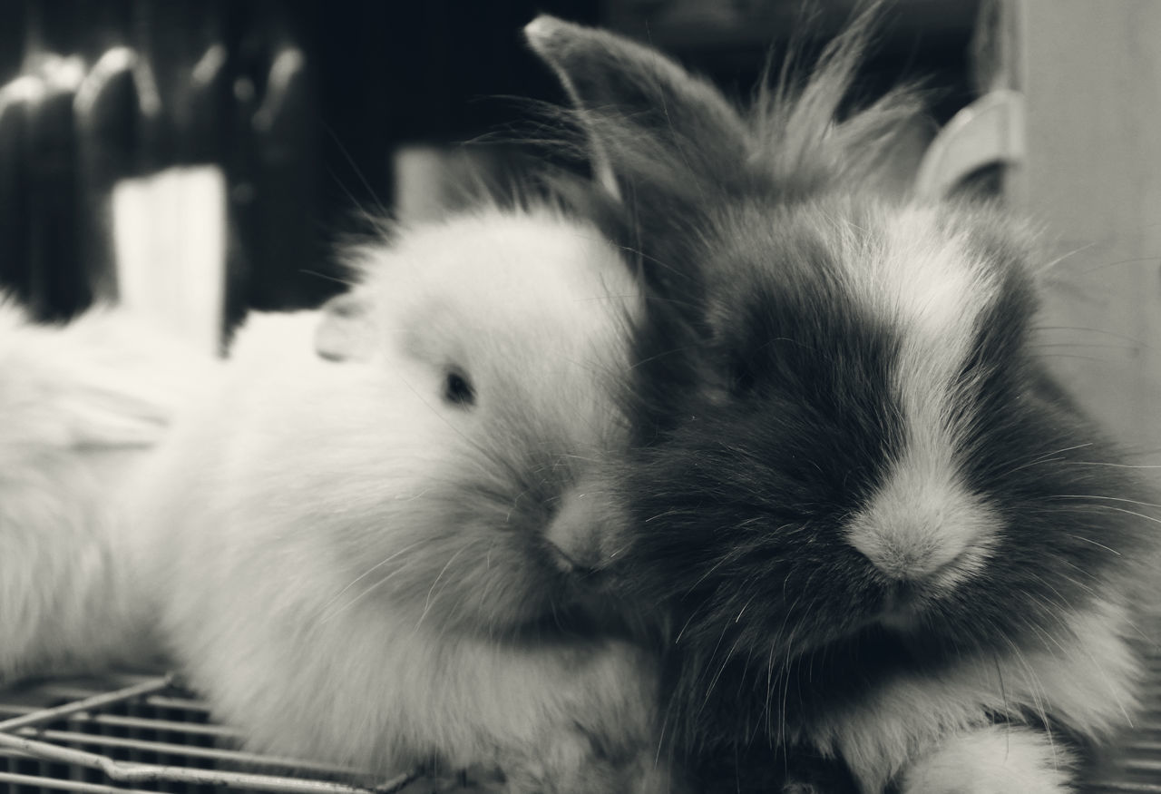 Animal Animal Themes Animals Black And White Blackandwhite Cute Cute Animals Cute Pets Cute♡ Domestic Animals Indoors  Life Lifestyles Love Love ♥ Lovely Mammal One Animal Pets Rabbit Rabbit ❤️ Rabbits Together Together Forever Togetherness