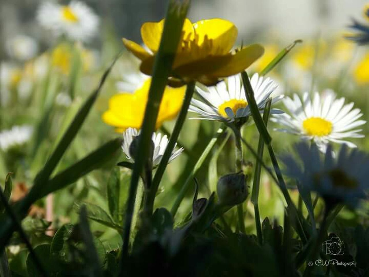flower, nature, growth, plant, yellow, petal, fragility, freshness, beauty in nature, no people, flower head, close-up, outdoors, day, grass