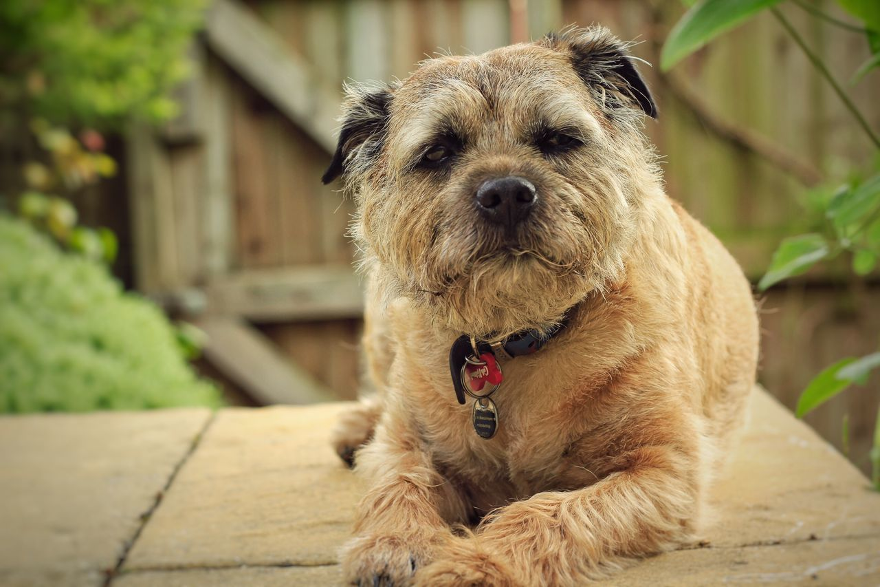 Chill time. Boarder Terrier Dog❤ Dog Canon60d Outdoors 50mm Leeds Animals Eyeemgallery EyeEm Gallery Pet Pet Photography