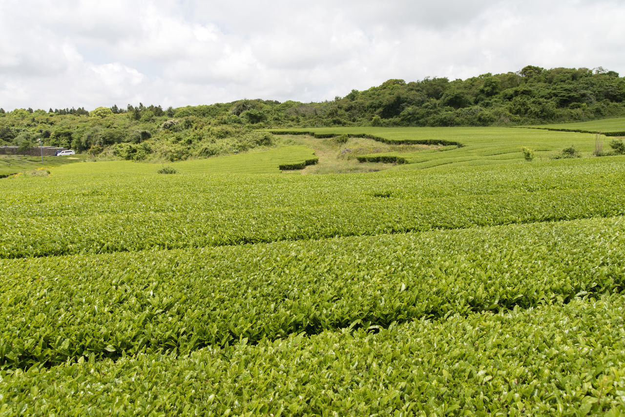 landscape of green tea field at Osulloc in Jeju Island, South Korea Agriculture Beauty In Nature Cloud - Sky Day Farm Field Freshness Grass Green Color Green Tea Field Growth JEJU ISLAND  Landscape Nature No People Osulloc Outdoors Rural Scene Scenics Sky Tea Crop Tranquil Scene Tranquility Tree
