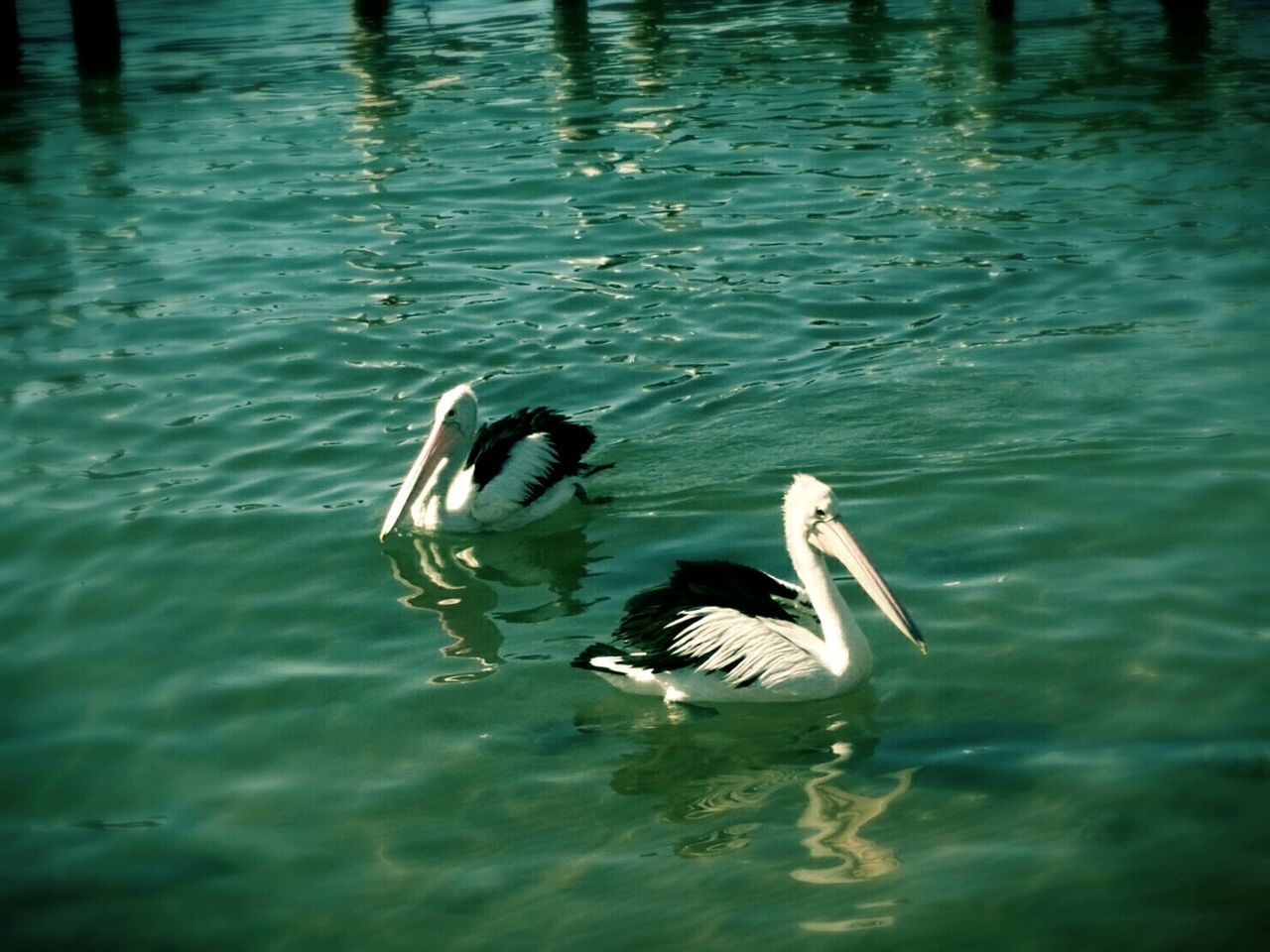 animal themes, animals in the wild, water, bird, swimming, lake, waterfront, animal wildlife, nature, water bird, day, duck, no people, outdoors, togetherness, floating in water, beauty in nature, swan