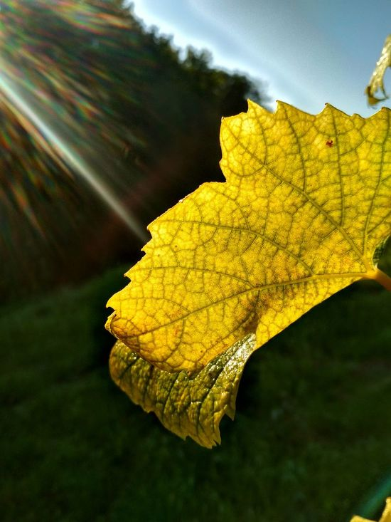 Leaf Autumn Change Nature Yellow Day Outdoors Beauty In Nature No People Multi Colored Close-up Scenics Tree Sky Light Effect Light Beam Vine - Plant Vineyards In Autumn Vineyard Beauty In Nature Rural Scene Sunlight The Week On EyeEm