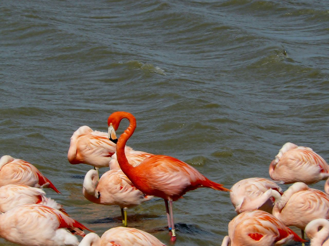 Flamant Rose Pink Flamingos