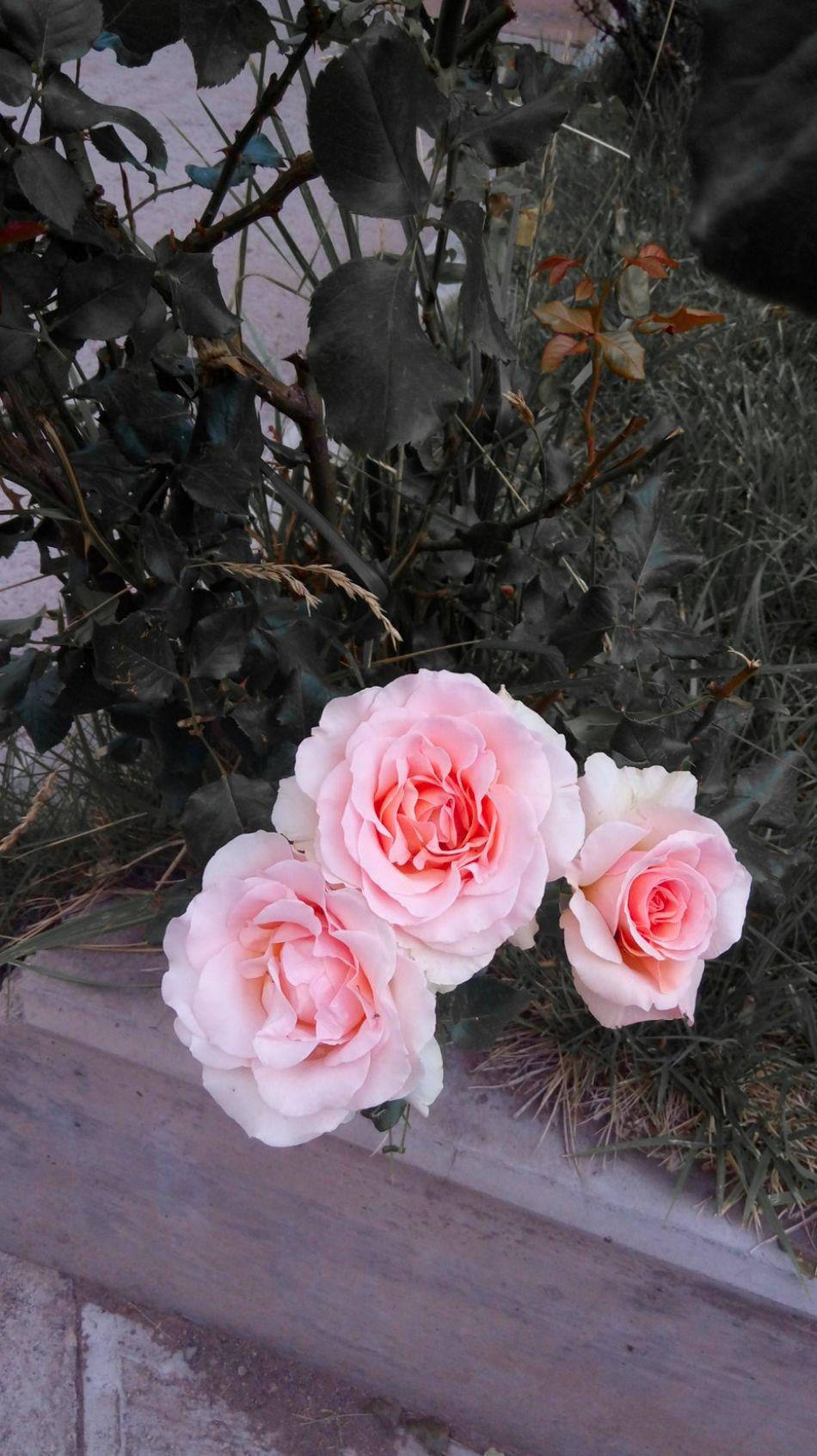Pink Color Flower Petal Nature Beauty In Nature Rose - Flower