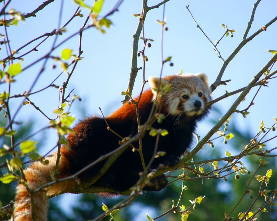Animal Animal Wildlife Red Panda One Animal Branch Panda - Animal No People Nature Animals In The Wild Panda Roux Zoophotography Zoo Zoo De Beauval