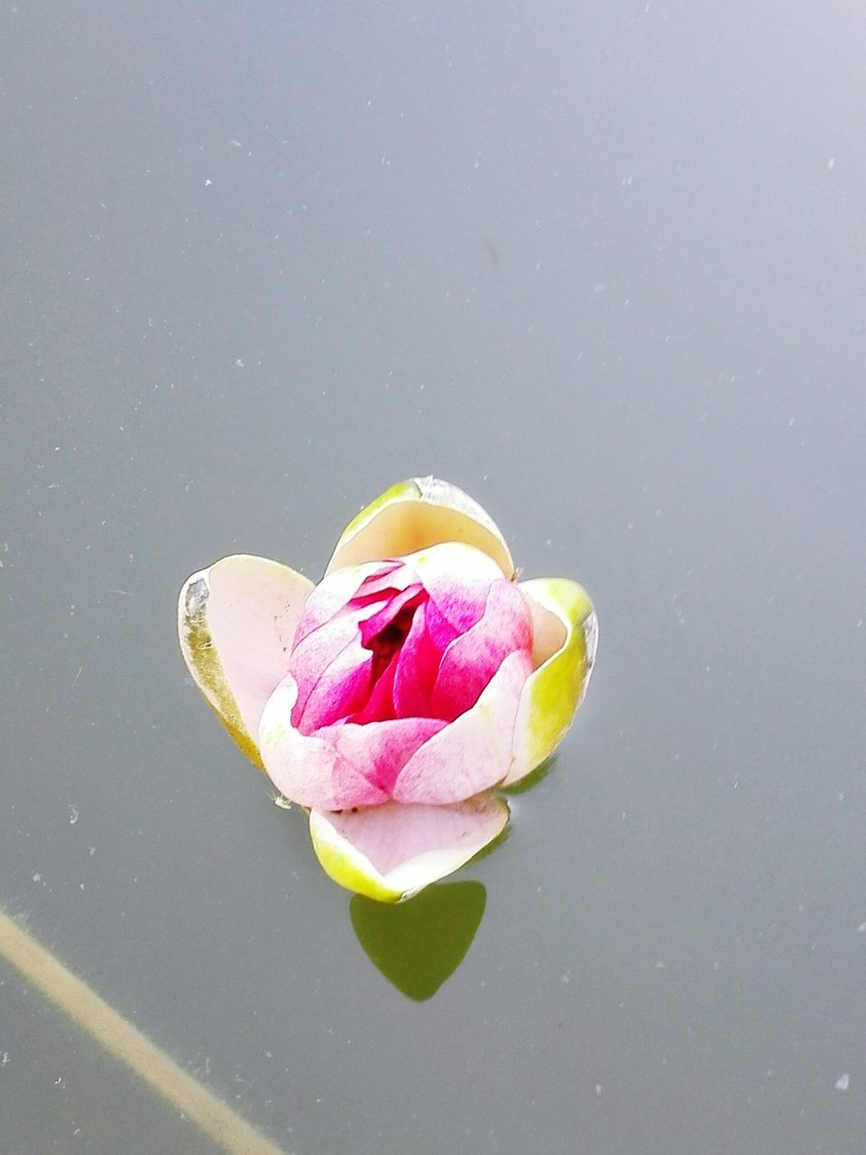 flower, petal, fragility, beauty in nature, nature, freshness, flower head, pink color, no people, studio shot, rose - flower, leaf, water, plant, close-up, lotus, growth, lotus water lily, blooming, outdoors, day