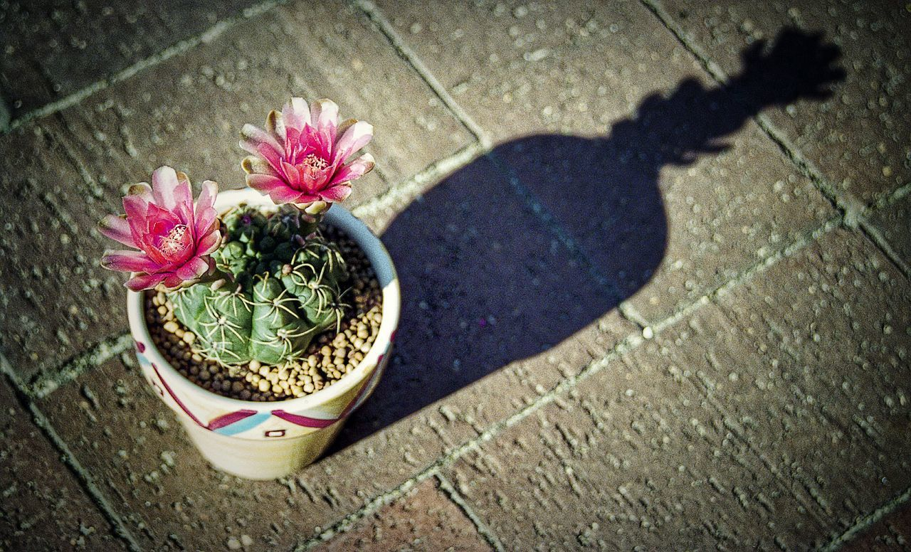 This one is for my Dad. He loved a good flowering cacti. In Bloom Flower Cactus Flowering Cacti Cactus Collection Cactus Flower Cacti No People Beauty In Nature Cactusporn Cactuslover Film Photography Filmisnotdead 35mm Film Flowerporn Flower Porn Film