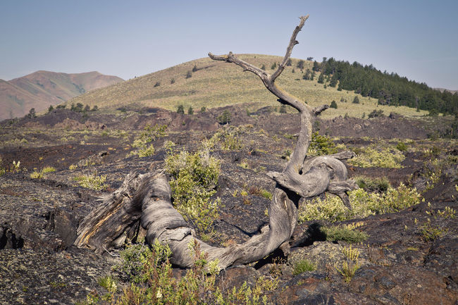 Tree formed by lava flows at Craters Of The Moon National Park, Idaho, US. Beauty In Nature Craters Of The Moon Day Geology Grass Growth Hill Landscape Lava National Park Nationalpark Nature No People Non Urban Scene Non-urban Scene Outdoors Physical Geography Remote Scenics Sky Tranquil Scene Tranquility Tree Tree Trunk Vulcanic Landscape