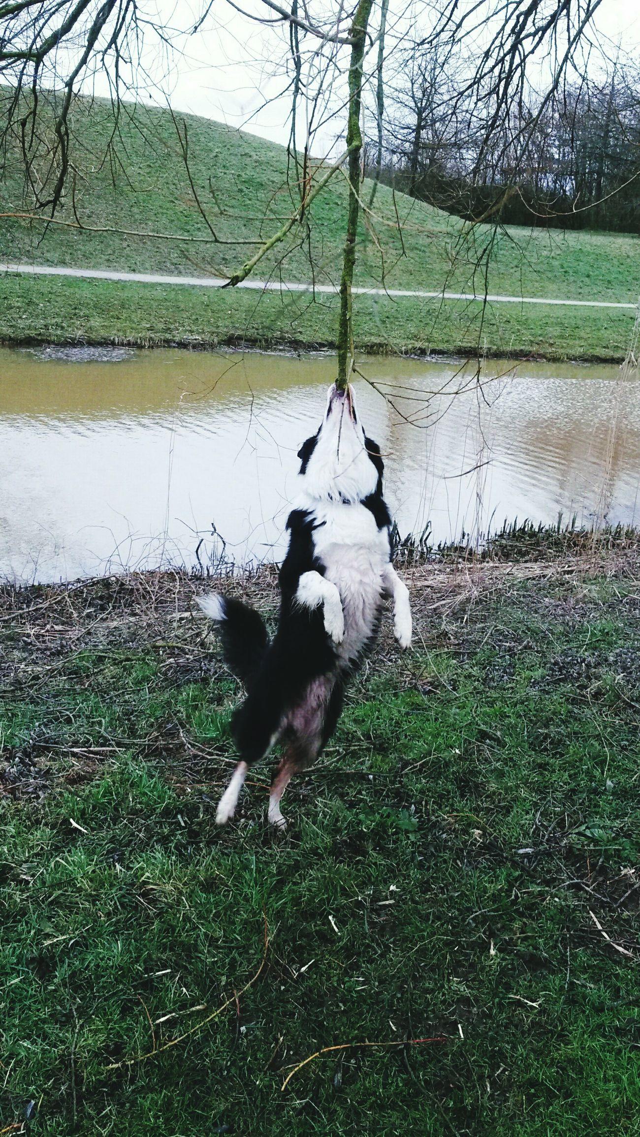 Djinto springend naar de tak die er niet af wil om mee te kunnen spelen.